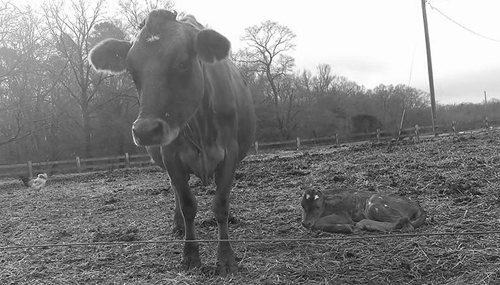Sustainably raised cow and calf at Lilly Den Farm