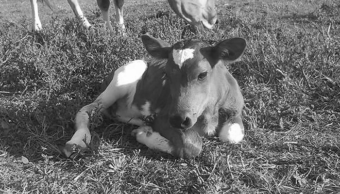 Sustainably raised veal at Lilly Den Farm