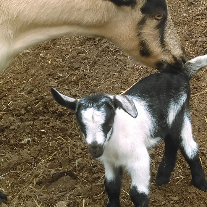 Black and white baby goat with its momma