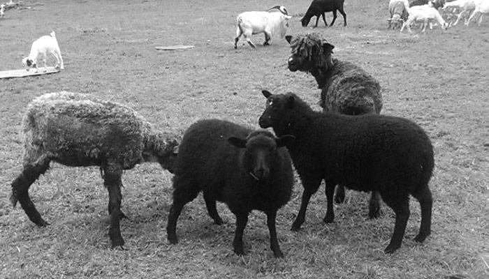 Sustainably raised lamb at Lilly Den Farm