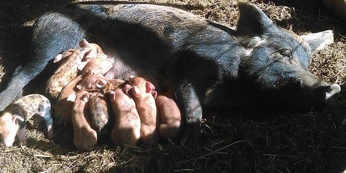 Piglets Nursing On Momma Pig