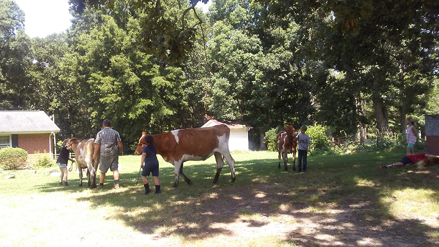 Kids walking cows outside in yard